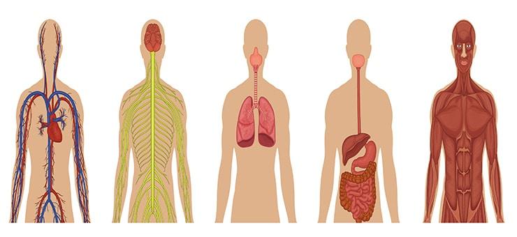 تطبيقات أيباد مساعدة على دراسة جسم الإنسان